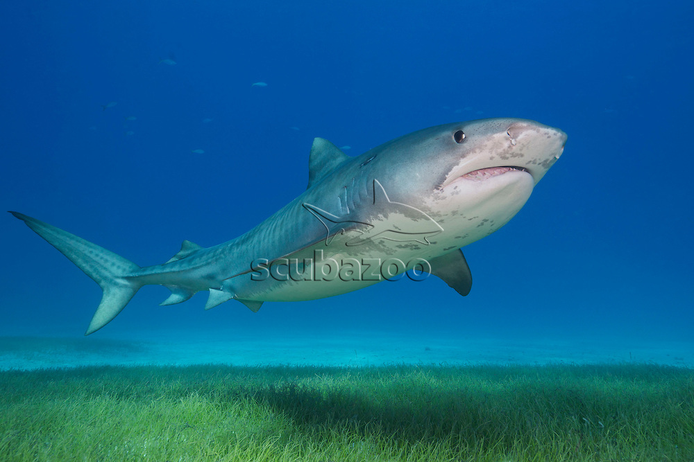 Tiger shark, Galeocerdo cuvier, swimming over seagrass, Bahamas