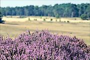 Nederland, Lunteren, 11-9-2015Natuurgebied Het Wekeromse Zand.Een natuurgebied bij Wekerom in de provincie Gelderland. Een gebied met zandverstuivingen, vliegdennen en heide. Een voedingsarme zandgrond. Zij ligt aan de rand van de Veluwe, de veluwezoom.  Er groeit struikheide die in augustus en september prachtig bloeit.Foto: Flip Franssen/HH