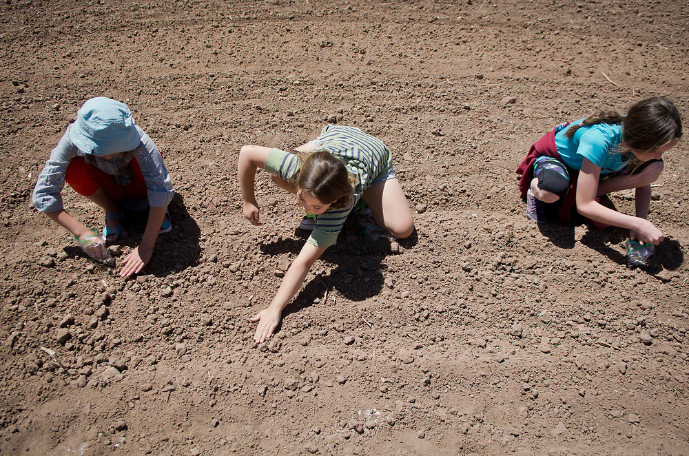 "mkb050317d/metro/Marla Brose -- From left, Cottonwood School students, including, from left, Isa Arbetan, Lily Menace and Keira Thomas plant sunflower  seeds in the Juan Gonzales Bas Heritage Farm in Corrales, N.M., Wednesday, May 3, 2017. The students, along with clients from ARCA, planted sunflowers for a lollipop maze in the village-owned land. ""It's going to be so much fun to watch it develop and grow,"" said Roger Weber, program manager at La Paloma Greenhouse and ARCA Organics. This is the first year for the sunflower maze.   (Marla Brose/Albuquerque Journal)"
