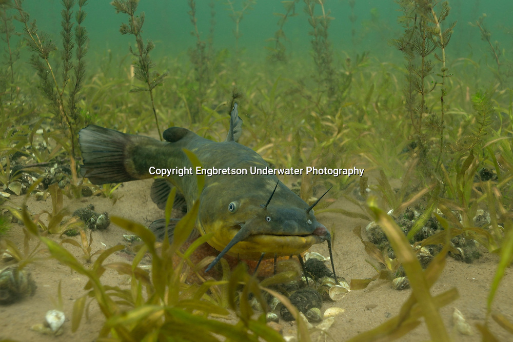 Black Bullhead (male guarding nest of eggs)<br />
