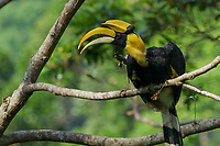 This is a Great Hornbill perched in the rain forest canopy in Thailand's Halabala Wildlife Sanctuary.  It was on its way to visiting a fruiting fig tree, and paused on this branch and briefly scratch and preen before going to the fig to feed.
