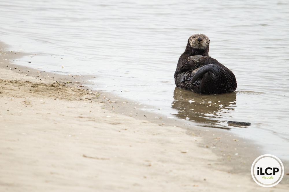 Sea Otter (Enhydra lutris) male grooming on beach, Elkhorn Slough, Monterey Bay, California