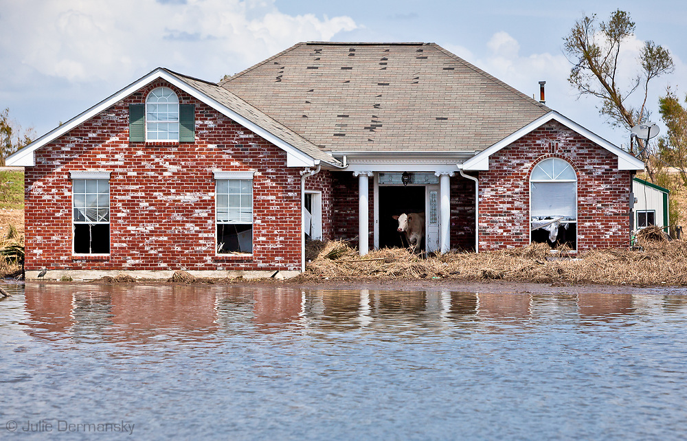 Cow stuck in a house in Plaquemines Parishafter after Hurricane Isaac.