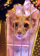 © Licensed to London News Pictures. 24/11/2012. Birmingham, UK Chi Wow Wow looks out from his cage. Cats are shown by their owners and breeders at The Supreme Cat Show held by the Governing Council of Cat Fancy at the National Exhibition Centre in Birmingham today, 24 November 2012. The Cat Show is one of the largest cat contests in Europe with over one thousand cats being exhibited and judged. Photo credit : Stephen Simpson/LNP