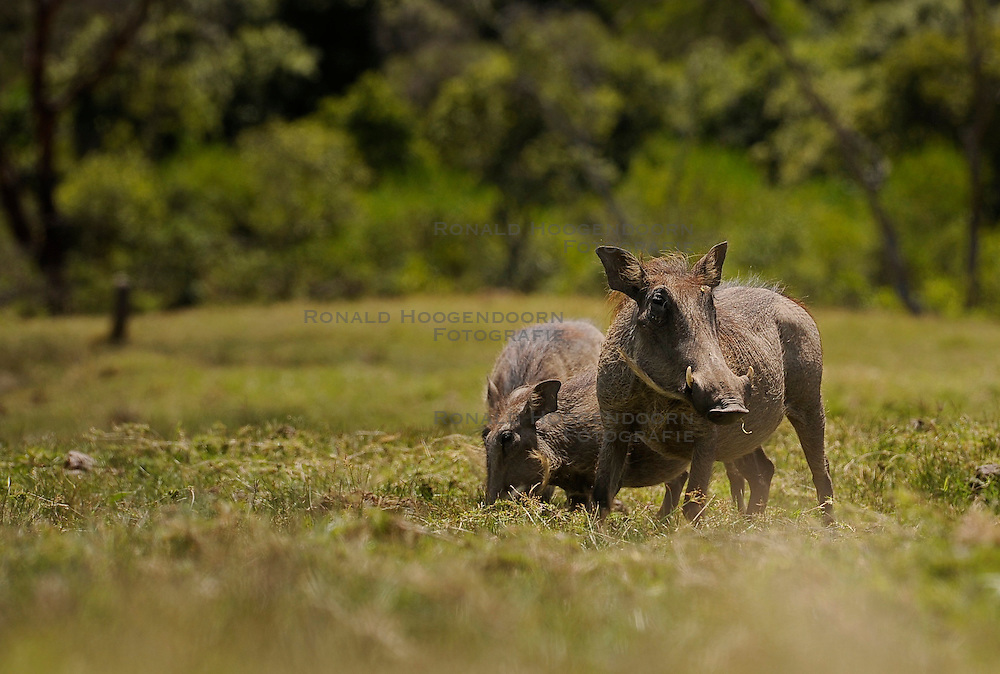 15-10-2008 REPORTAGE: KILIMANJARO CHALLENGE 2008: TANZANIA <br /> De dag van Miriakamba Huts (2514m) naar Momella Gate (1514). Wild, dieren, Natuur, vogels, Knobbelzwijn. De Kilimanjaro Challenge van de BvdGf.<br /> ©2008-FotoHoogendoorn.nl