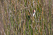 A Comb-crested Jacana takes a break from foraging to peek up and peer through the thick reeds at Mareeba Wetlands, Australia.