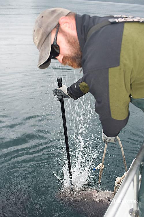 charter fishing boat captain dispatches a salmon shark, Lamna ditropis, with a bang stick, Prince William Sound, Alaska, U.S.A.