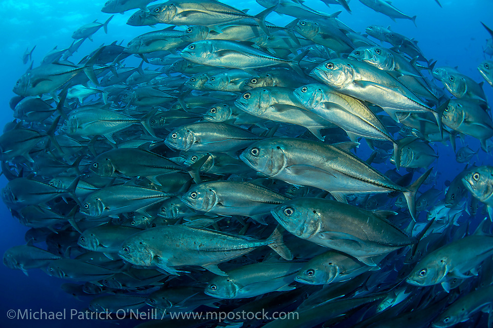 A school of Bigeye Jacks, Caranx sexfasciatus, swims along the rocky reef of Wolf Island, Galapagos Islands, Ecuador.