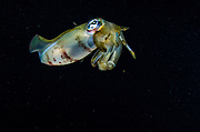 Bigfin Reef Squid (Septioteuthis lessoniana)<br /> Raja Ampat<br /> West Papua<br /> Indonesia