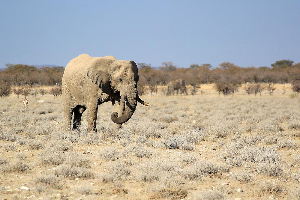 African elephant bull in Etosha Wildlife Reserve, Namibia