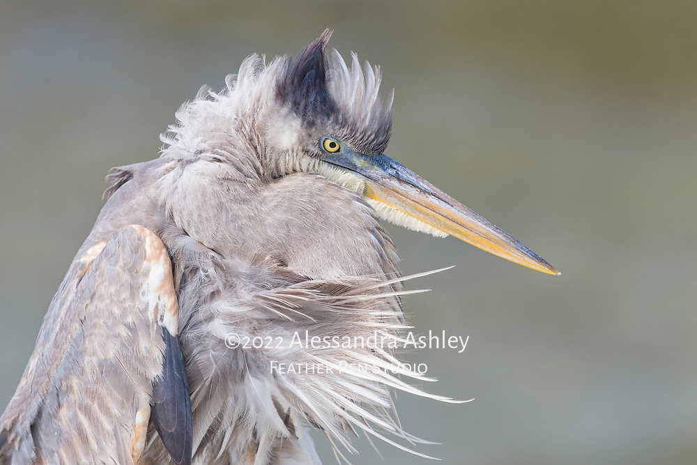 Great blue heron (Ardea herodias) shows freshly arranged feathers after a thorough preening. Photographed on Florida's Gulf coast. Published by Smithsonian as Image of the Day / Editor's Pick on 10.20.17. Finalist, 2018 Festival de l'Oiseau et de la Nature international wild bird photo competition.