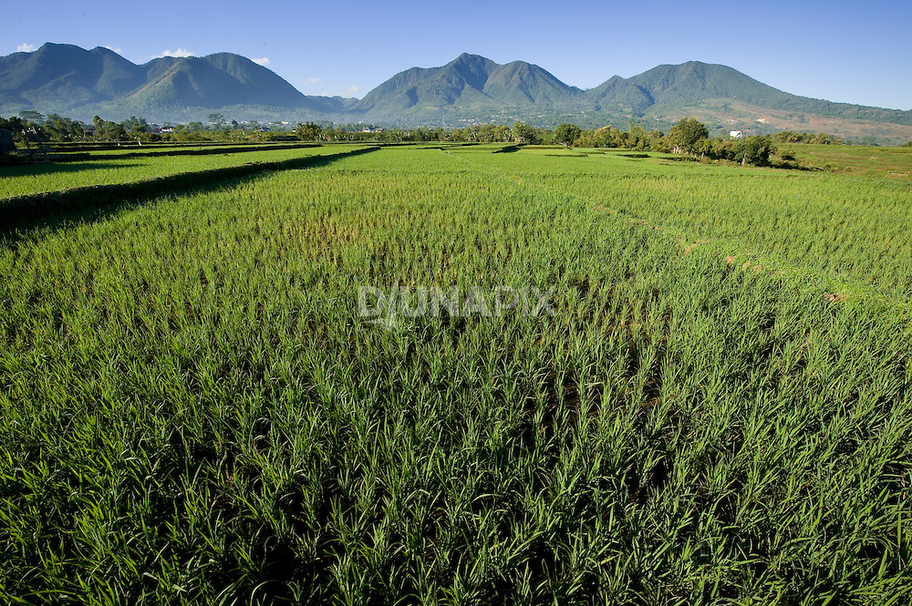 Rice paddies between Ruteng and Liang Bua, Manggarai, Flores