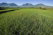 Rice paddies between Ruteng and Liang Bua, Manggarai, Flores