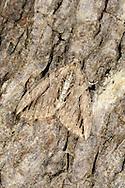 Cypress Carpet - Thera cupressata