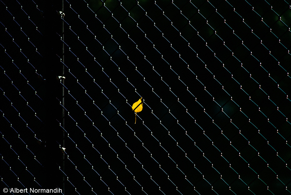 Yellow Leaf in Fence, New York City, New York, USA, November 1983
