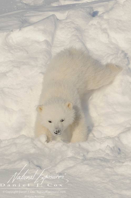 Polar Bear cub of the Hudson Bay population that is recently out of the den. Manitoba, Canada