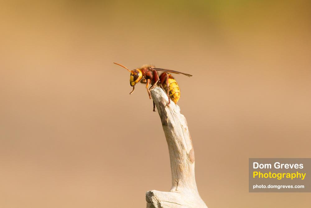 Hornet worker (Vespa crabro) at apex of fallen branch. Surrey, UK.