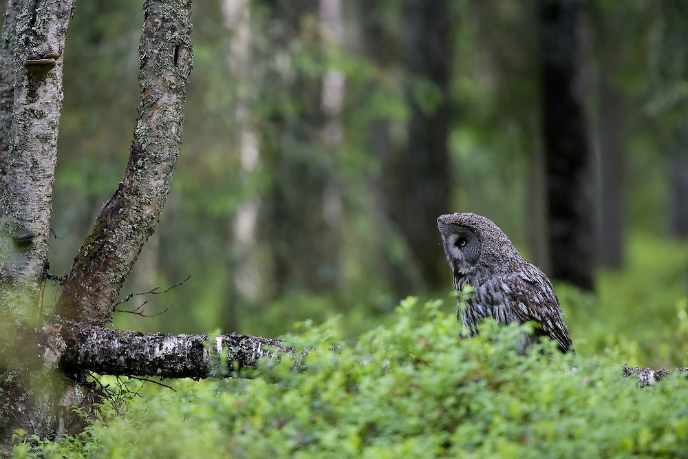 Great grey owl (Strix nebulosa) hunting in boreal forest, Oulu, Finland.