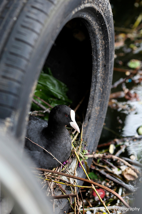 UK ENGLAND LONDON 3MAY16 - A coot nests in a disused tyre near a narrowboat in Homerton, east  London.<br /> <br /> jre/Photo by Jiri Rezac<br /> <br /> © Jiri Rezac 2016