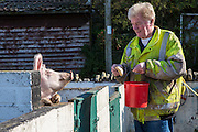 Rocky Pearce feeding one of the pigs. He has been the manager at Hartcliffe Community Park farm for 31 years. Hartcliffe Community Park farm Bristol, UK.