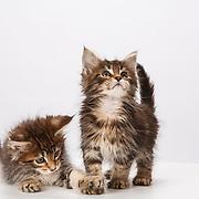 Judi - Birman and Maine Coon Kittens