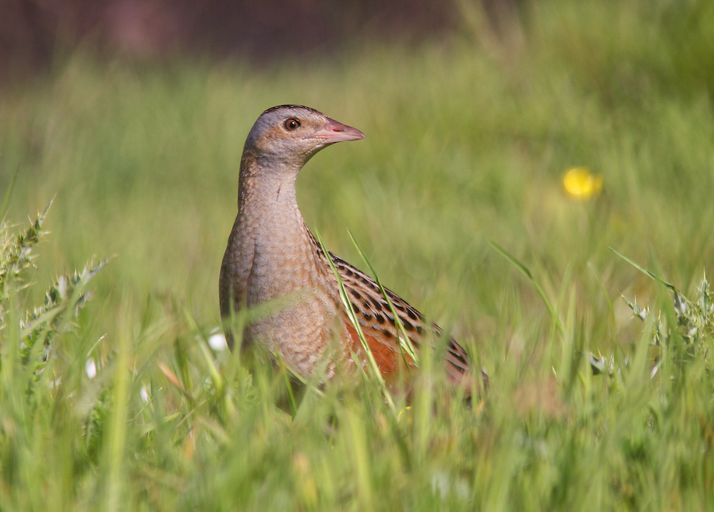 Corncrake ( Crex crex )  Ireland Donegal Tory Island Ireland      Tory is the main location of corncrake in Ireland