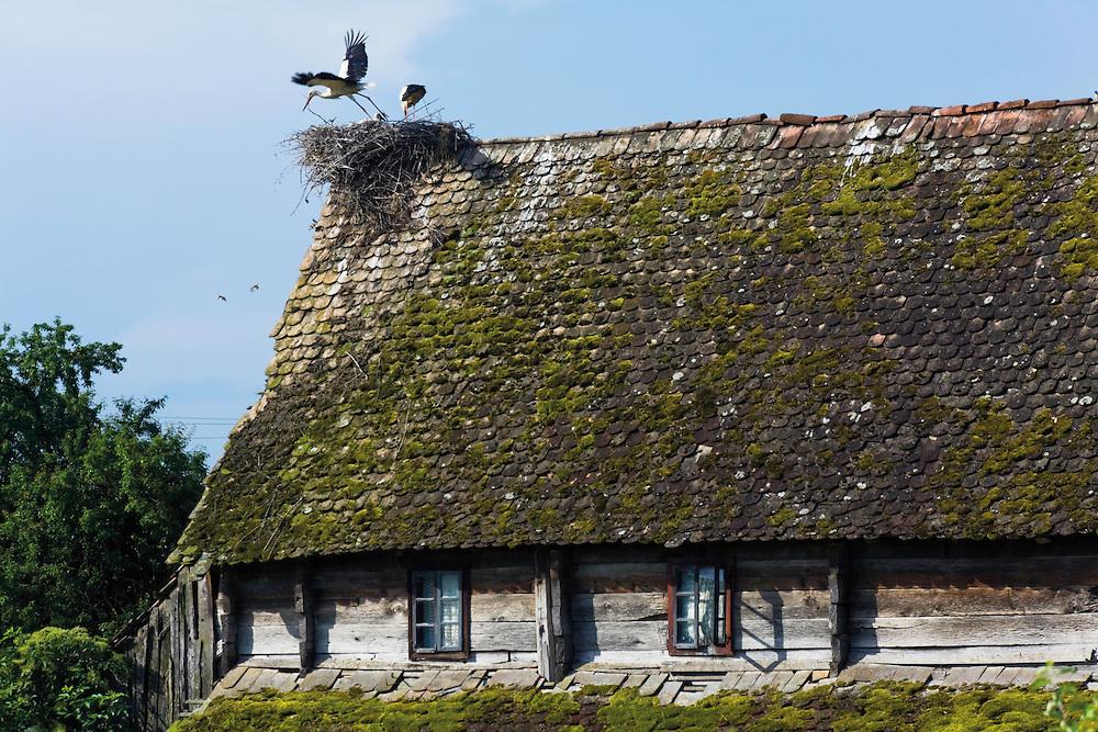 White stork (Ciconia ciconia) nesting on the roof of a typical old house made by the local oak wood. Trebež village. Lonjsko Polje Nature Park. Ramsar Site. Sisack-Moslavina county. Slavonia region. Posavina area. June 2009. Croatia.<br /> Elio della Ferrera / Wild Wonders of Europe