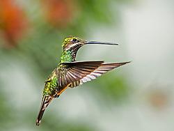 Bico-reto-de-banda-branca (Heliomaster squamosus), beija-flor da familia Trochilidae, encontrado nas regioes do leste e sudeste do Brasil./ Beak-straight-to-band-white (Heliomaster squamosus), the hummingbird family Trochilidae, found in the eastern and southeastern regions of Brazil. 2014