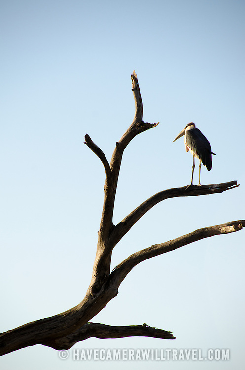 A solitary marabou stork sits on a branch of a tree at Tarangire National Park in northern Tanzania not far from Ngorongoro Crater and the Serengeti.