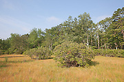Vernal Pool with blueberry bushes; NJ, Pine Barrens