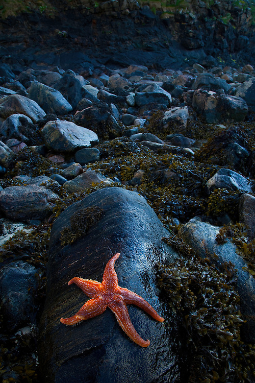 Starfish, (Asteroidea). Playa Dail Beag Beach. Lewis Island. Outer Hebrides. Scotland, UK