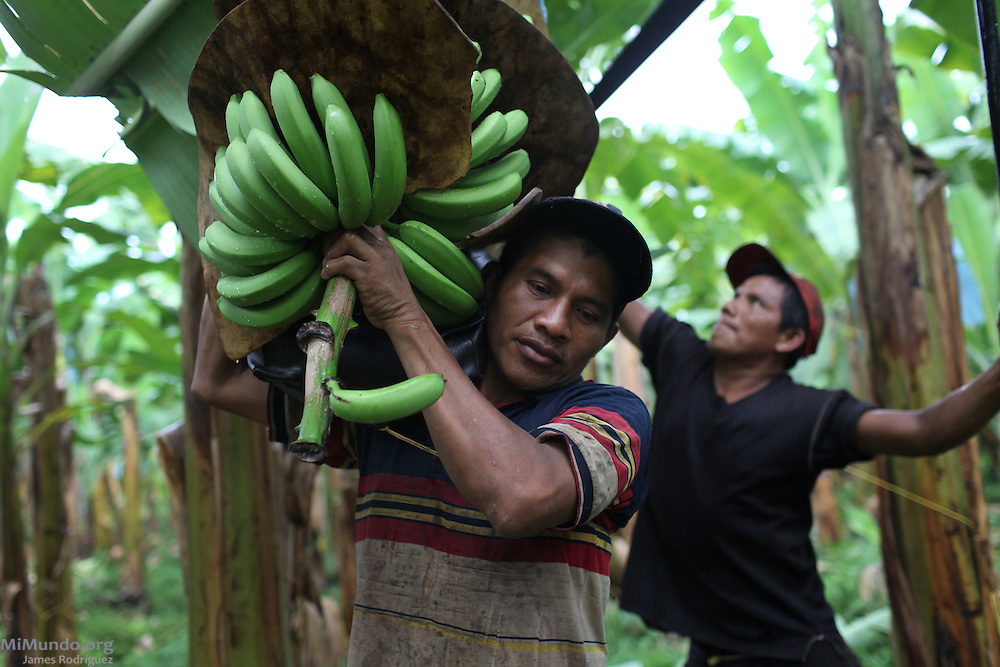 Nestor Santos (left) places a cluster of bananas on his shoulder as Eliseo Fernández cuts it for harvest. COOBANA: Finca 51, Changuinola, Bocas del Toro, Panamá. September 3, 2012.