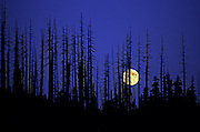 Image of burnt fir trees and a rising full moon at Mt. St. Helens National Volcanic Monument, Washington, Pacific Northwest