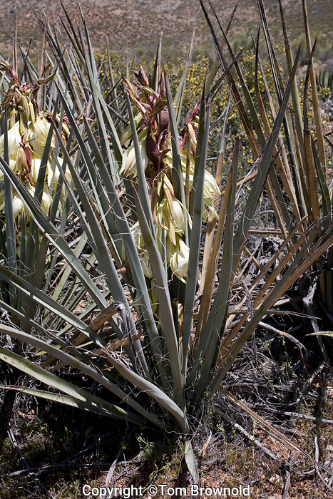 Banana Yucca (Yucca baccata) in Grand Canyon.