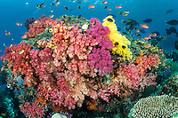 Damsels, Anthias, and Unicornfishes crowd around a vividly colored Coral head.<br /> <br /> Shot in Indonesia