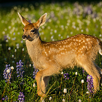 Columbian black-tail deer