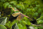 A chinese praying mantis (Tenodera aridfolia) in flight. Western Oregon. These insects are native to China but have been introduced, and are common in North America.