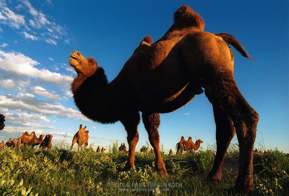 Mongolei, MNG, 2003: Kamel (Camelus bactrianus). Grasende Herde auf einer blühenden Wiese; Blüte ist ungewöhnlich für die Wüste Gobi, hängt mit den starken Regenfällen im Sommer zusammen; im Vordergrund ein großes Männchen. | Mongolia, MNG, 2003: Camel, Camelus bactrianus, herd of camels grazing on a blooming meadow, very unusual that the Gobi is blooming, lots of rain in summer, big male in the front, South Gobi. |