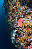 Hawksbill Turtle foraging for a meal on a deep reef wall<br /> <br /> Shot in Indonesia