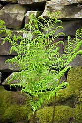 Broad Buckler-fern. Dryopteris dilitata.