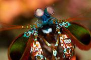 Mantis Shrimp (Odontodactylus scyllarus) in Lembeh Strait, Indonesia.