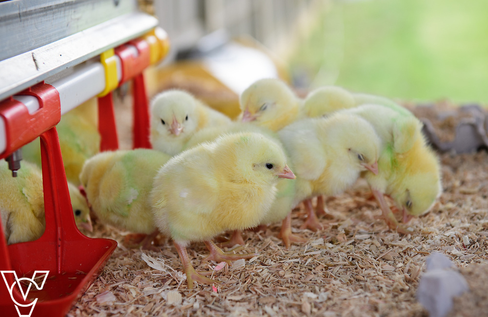 As part of Open Farm Sunday, May Park's Barr Farm in Billinghay, Lincolnshire, was open to the public.  Pictured is young chicks which visitors could hold.<br /> <br /> PIcture: Chris Vaughan Photography<br /> Date: May 21, 2017