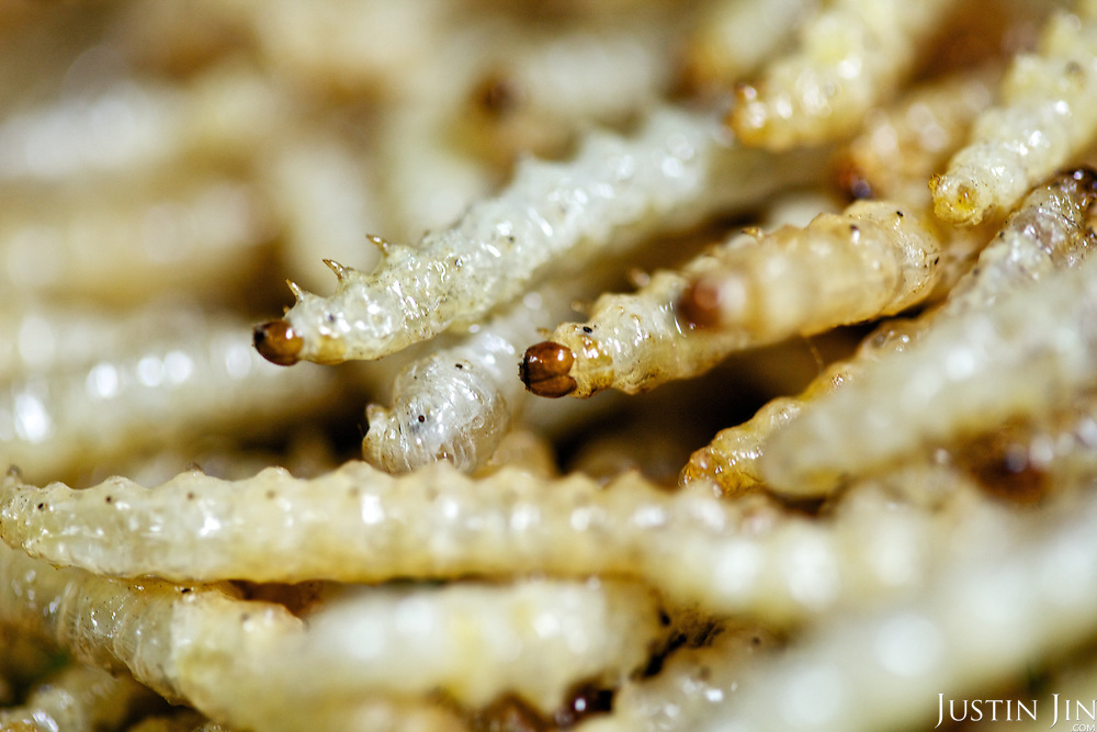 Bamboo worms are served at the Dai Meng Mou Restaurant in Ruili, Yunnan province, southwestern China.