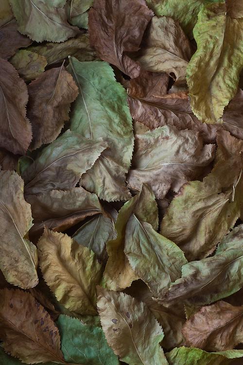 Elderberry leaves , Ahwahnee, California  2009
