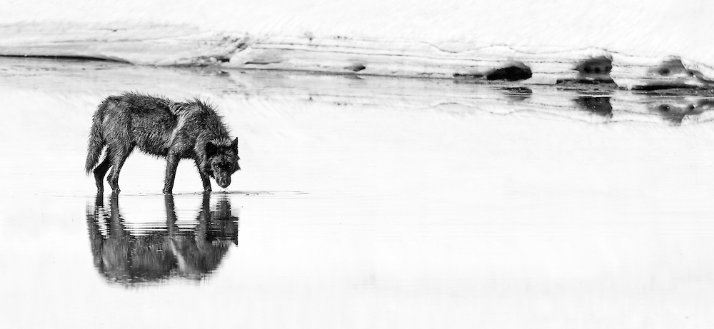 Reflected in the waters of Alum Creek, a member of Yellowstone's Canyon Pack, pauses for a much needed drink.