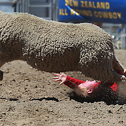 A young boy falls from a sheep during the kids sheep ride competition at the Wanaka Rodeo. Wanaka, South Island, New Zealand. 2nd January 2012
