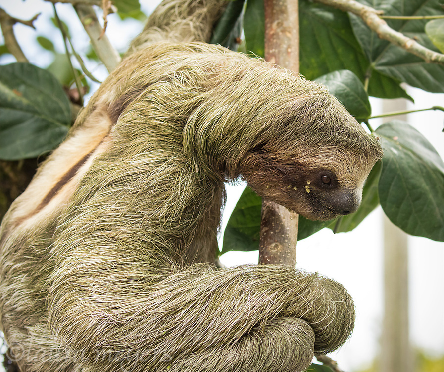 Juvenile male Three-toed Sloth on tree photographed in La Virgen Costa Rica.