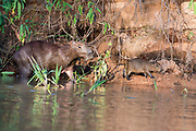 Mother and juvenile capybara (Hydrochoeris hydrochaeris) on the banks of Cuiaba River, Pantanal, Brazil.