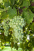 A cluster of grapes ripening on a grapevine