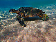 Green sea turtle, Chelonia mydas, Maui, Hawaii.